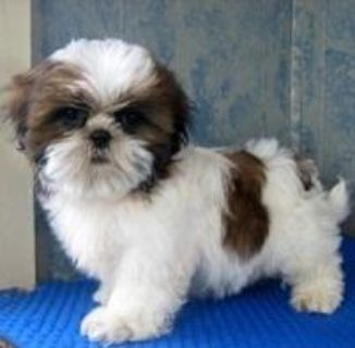 Spectacular AKC Shih Tzu puppies for sale