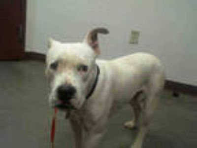 Adopt SHILO a White American Pit Bull Terrier / Mixed dog in Phoenix