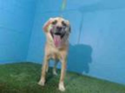 Adopt MARLEY a Golden Retriever, Mixed Breed