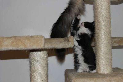 Maine coon Bengal mix kitten