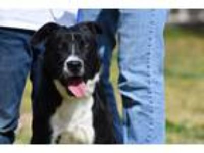 Adopt Ike a Black - with White Border Collie / Mixed Breed (Medium) / Mixed dog