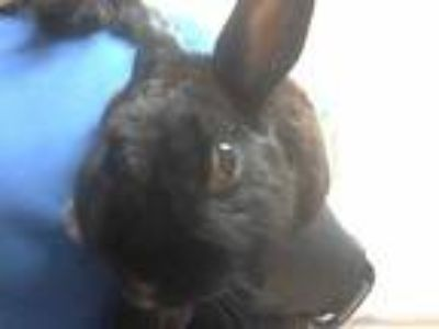 Adopt a Black Other/Unknown / Mixed rabbit in Martinez, CA (25269187)