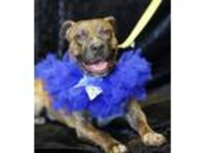 Adopt Lacey a Pit Bull Terrier