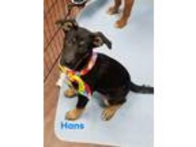 Adopt Hans a Black - with Tan, Yellow or Fawn German Shepherd Dog / Mixed dog in