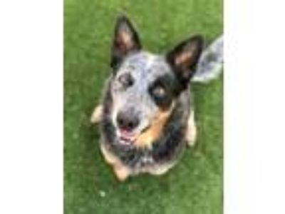Adopt Cole a Black Blue Heeler / Terrier (Unknown Type, Medium) / Mixed dog in