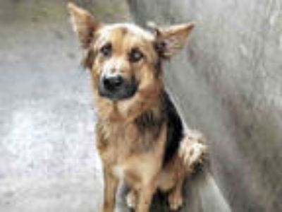 Adopt TOBY a Tan/Yellow/Fawn - with Black Mixed Breed (Medium) / German Shepherd