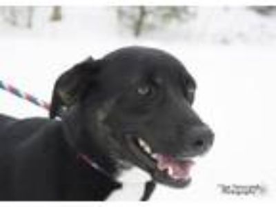 Adopt Dean a Black Labrador Retriever, Dutch Shepherd
