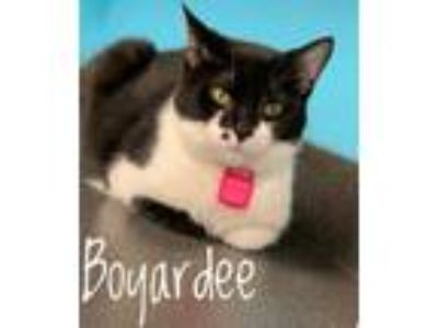 Adopt Boyardee a Domestic Short Hair