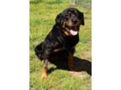 Adopt Roulette a Rottweiler