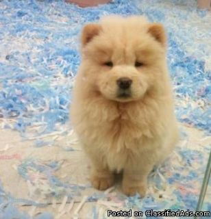 Top quality chow chow puppies for sale