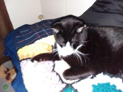 Tuxedo cat lost