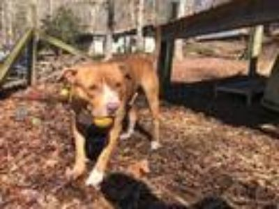 Adopt Blaze a Brown/Chocolate - with Tan Pit Bull Terrier / Mixed dog in