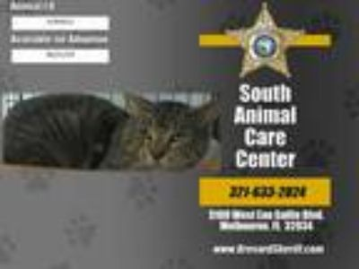 Adopt HUTCH a Brown Tabby Domestic Shorthair / Mixed (short coat) cat in