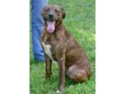 Adopt Wally a Hound, Pit Bull Terrier