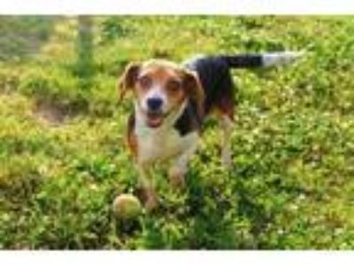 Adopt SHORTY a Tricolor (Tan/Brown & Black & White) Beagle / Mixed dog in