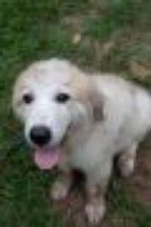 Amelia Great Pyrenees Dog