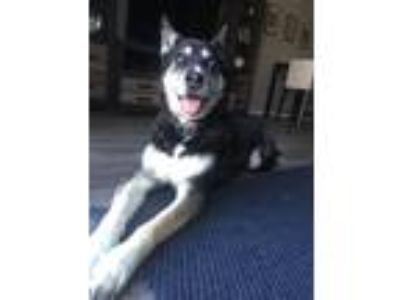 Adopt Hawk a Black - with White Husky / German Shepherd Dog / Mixed dog in