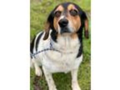 Adopt Florence a Beagle / Mixed dog in Quakertown, PA (25277334)