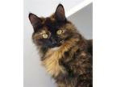 Adopt Tilly a Domestic Long Hair