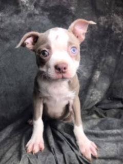 Lacey Female Boston Terrier AKC