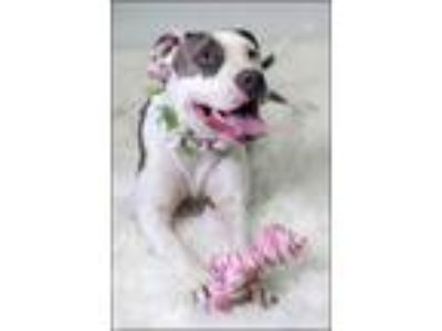 Adopt Scarlet a Gray/Blue/Silver/Salt & Pepper Terrier (Unknown Type