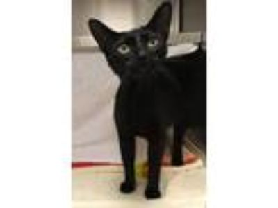 Adopt Clementine a Domestic Shorthair / Mixed cat in Pittsburgh, PA (25887499)