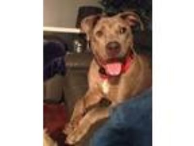 Adopt Baz a Gray/Silver/Salt & Pepper - with White Catahoula Leopard Dog / Pit