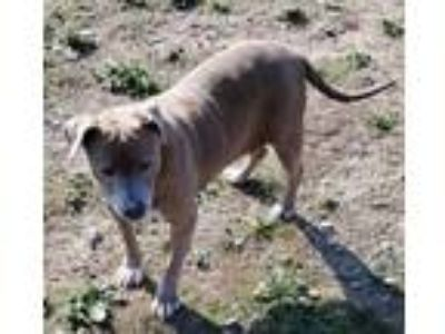 Adopt Misty a Weimaraner, American Staffordshire Terrier