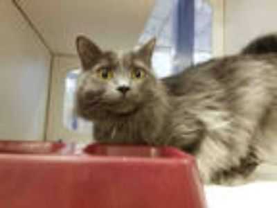 Adopt MAX a Gray or Blue Domestic Shorthair / Mixed (short coat) cat in