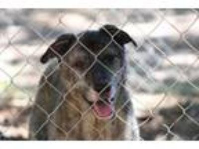 Adopt Lucy a Dutch Shepherd, Irish Wolfhound