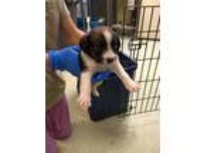 Adopt Bear a Terrier (Unknown Type, Medium) / Cattle Dog / Mixed dog in