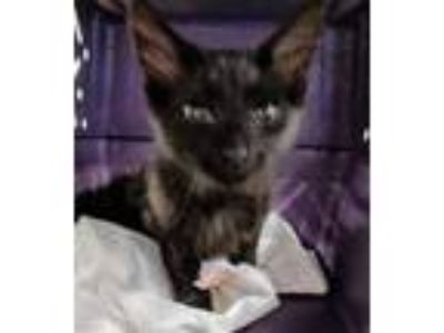 Adopt Vance a All Black Domestic Shorthair / Domestic Shorthair / Mixed cat in