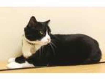Adopt Hop-a-long a Black & White or Tuxedo Domestic Shorthair (short coat) cat
