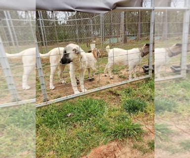Anatolian Shepherd PUPPY FOR SALE ADN-128434 - Livestock guardian Anatolian shepherd