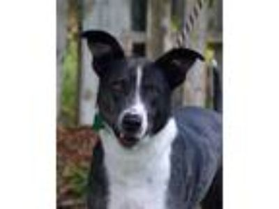 Adopt Happy a Black - with Gray or Silver Catahoula Leopard Dog / Shepherd