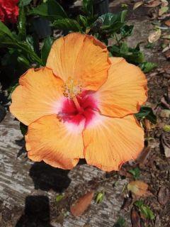 HIBISCUS!PRIVACY PLANTS MEGA SALE 10 ACRES OF BEAUTY