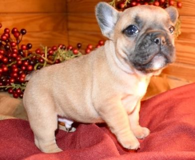 French Bulldog PUPPY FOR SALE ADN-103908 - XMAS Frenchie Pups