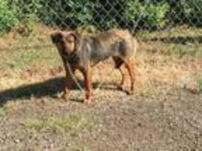 Adopt Mary a German Shepherd Dog