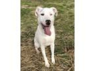 Adopt KAI a Dogo Argentino / Labrador Retriever / Mixed dog in Quinlan