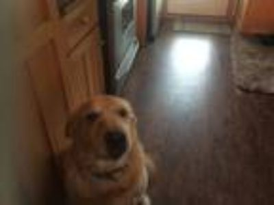 Adopt Mayhem a Tan/Yellow/Fawn - with White Labrador Retriever / Mixed dog in