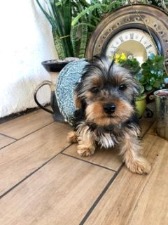 Yorkshire Terrier PUPPY FOR SALE ADN-112756 - Adorable Yorkie Boy