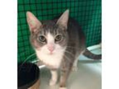 Adopt Chloe 2 a Domestic Short Hair