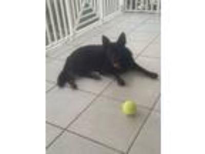 Adopt Diamond a German Shepherd Dog
