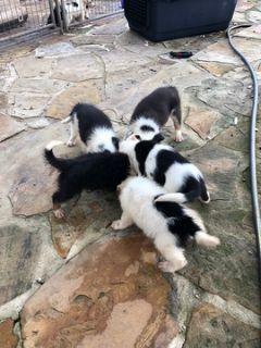 Border Collie PUPPY FOR SALE ADN-95694 - Border Collie Puppies