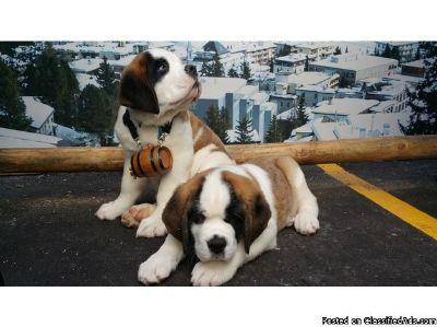 Protective Saint Bernard puppies available