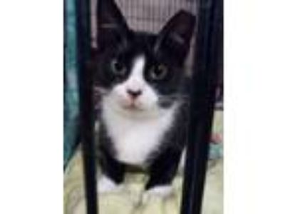 Adopt Lilly a Tuxedo, Domestic Short Hair