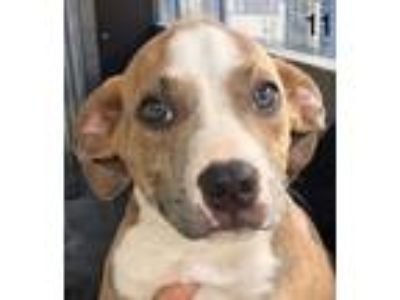 Adopt Jack a Brindle American Pit Bull Terrier dog in Manhattan, NY (25278646)