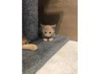 Adopt Curtis a Orange or Red Tabby Domestic Shorthair (short coat) cat in Toms