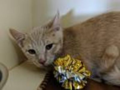 Adopt Herbert a Tan or Fawn Domestic Shorthair (short coat) cat in Elyria