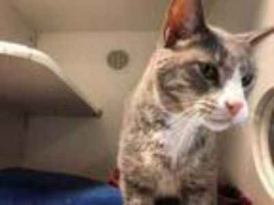 Adopt Gabby a Gray or Blue Domestic Shorthair / Mixed cat in Land O'Lakes